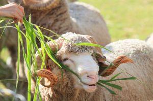 BFL Sheep