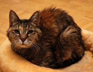 Miriam, our model for the Brown Tabby colourway for the Meow Collection