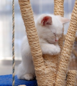 Kitten falls asleep in the middle of play time...we've all been there before!