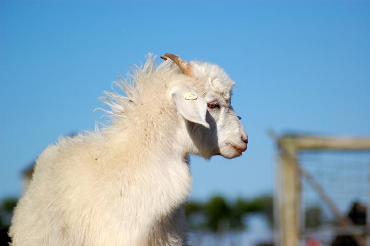 australian_cashmere_goat_2